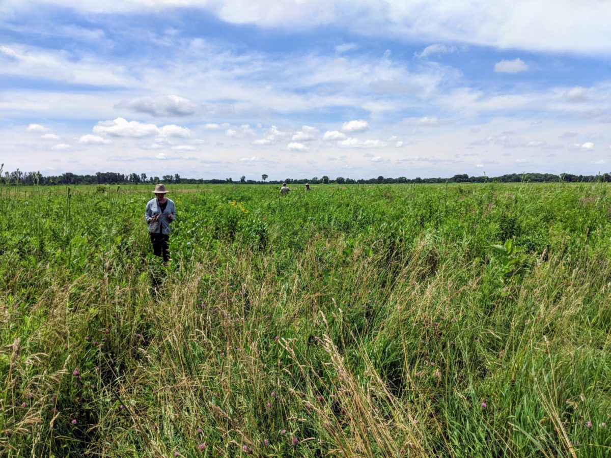 People walking through a green restored field at Midewin National Tallgrass Prairie in Illinois with blue sky and puffy clouds