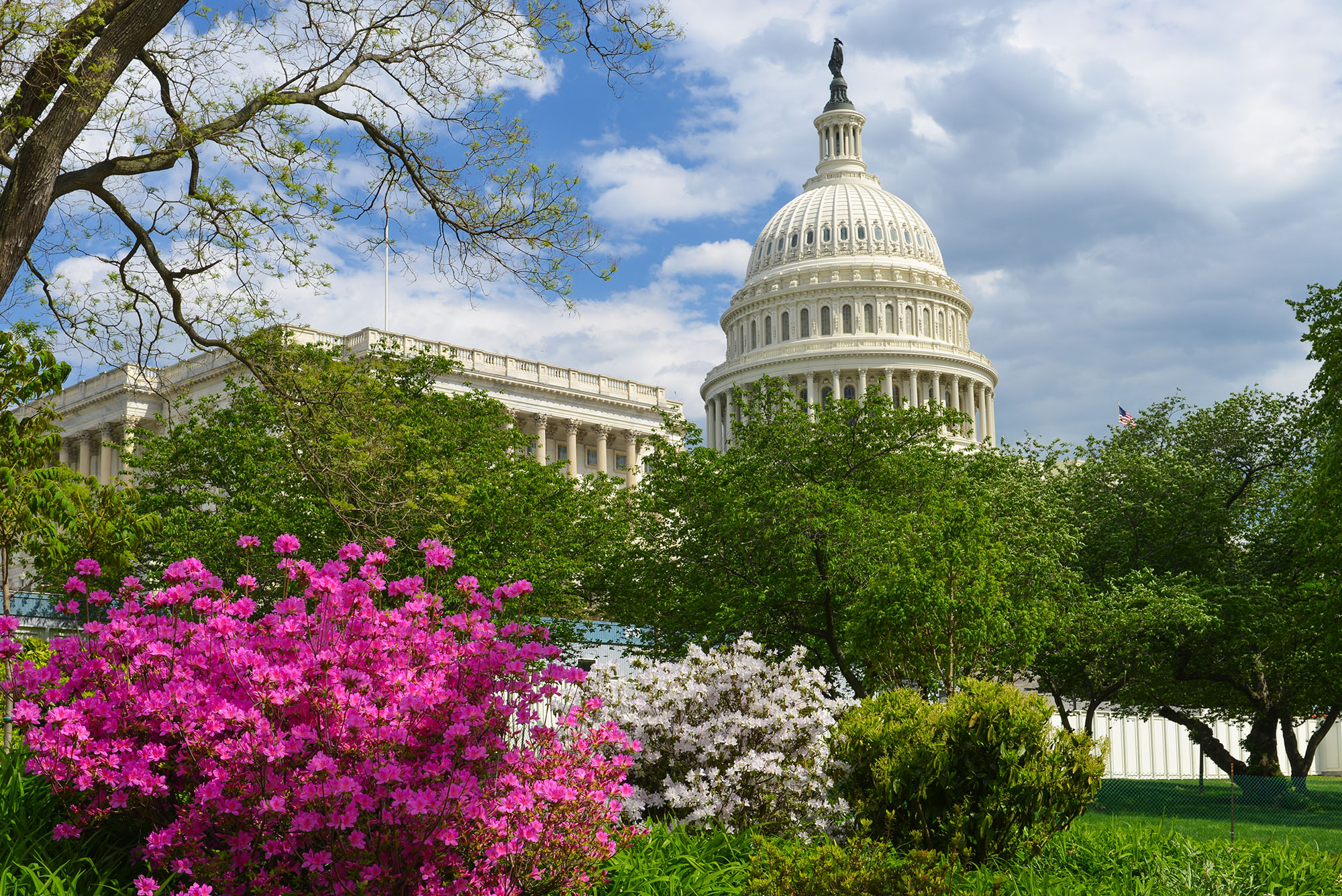 Capitol building in Washington DC behind green trees and purple and white flowering bushes